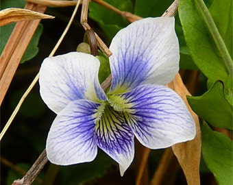 Heirloom 400 Flower Seeds Viola Tricolor F1 Johnny Jump Up Blueberry Cream Garden Flower S11120