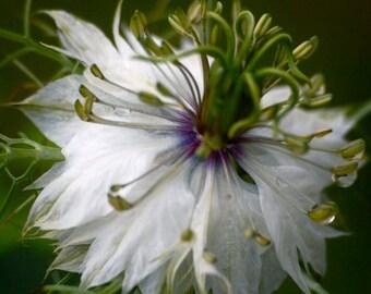Heirloom 1000 Seeds Black Cumin nigella sativa Roman coriander White Garden Flower Bulk Seeds B0081