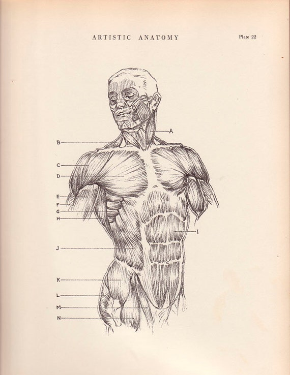 1941 Vintage Print Human Male Trunk Muscle Diagram 9 x by AgedPage