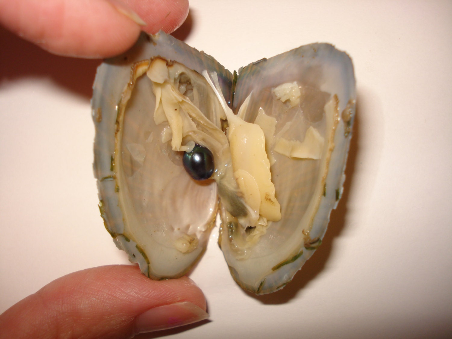 Pick A Pearl Oyster Freshwater Pearl Wish Pearl Take by ...