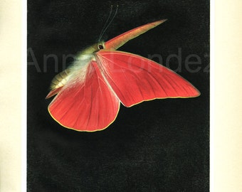 1950 Vintage red butterfly print Apias Nero-Zarinda Red butterfly poster Butterfly gift for entomologist Butterfly wall hanging
