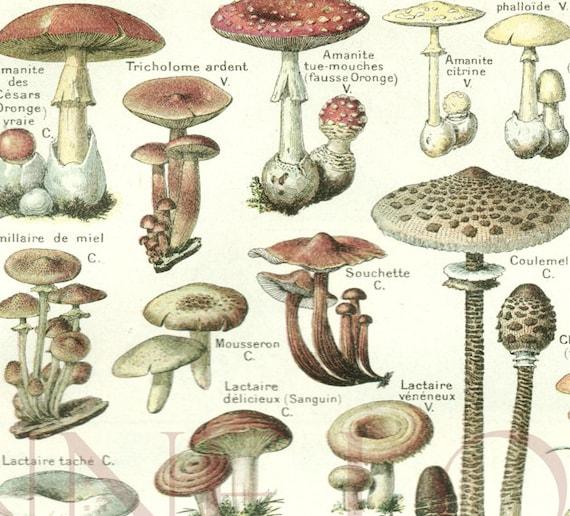 1948 Vintage mushroom poster Antique mushroom print botanical