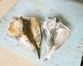 2 Calico Sea Shells Weathered and Distressed from a Florida Beach (512)