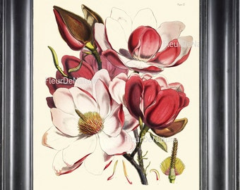 BOTANICAL PRINT Fitch 8x10 Botanical Art Print 4 Beautiful Pink White Magnolia Flower Tree Branch Garden Nature Plant to Frame Home Decor