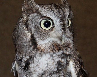 Einstein (Eastern Screech Owl) III (FREE Shipping in the U.S.only)--customized card, print or canvas