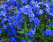 Cape Forget Me Not, Anchusa Capensis, Bright Blue Flowers, 25 Seeds