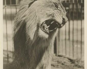Roaring circus lion vintage animal photo
