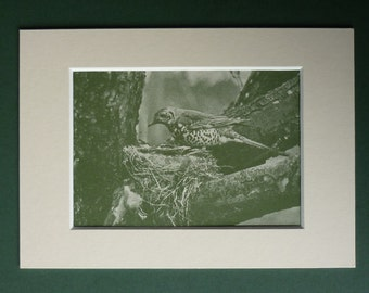 1950 Vintage Print Of A Mistle Thrush - Woodland Bird Print - Garden Bird - Nature Photography - Natural History Print - Mistle Thrush Print