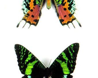 Moth Madagascan sunset moth (Chrysiridia rhipheus) 100 x 1.35 each wholesale prices 135.00