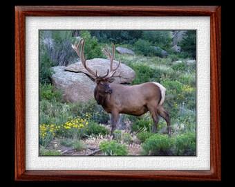 Elk Print - 8x10 or 11x14 Elk Photograph - Wildlife Photograph - Elk Art (P50)