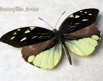 Falcate Dismorphia Lieinix Nemesis Real Butterfly From Peru In Shadowbox