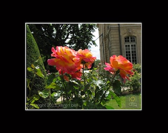Parisian Rosebush Delicate Flower Photography Print at Rodin Museum in Paris, Home Décor, Wall Art