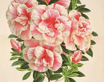 Azalea art antique Botanical Art Prints flower art print Home Decor Wall Art flowers French art Victorian art Garden Wall Art Vintage decor