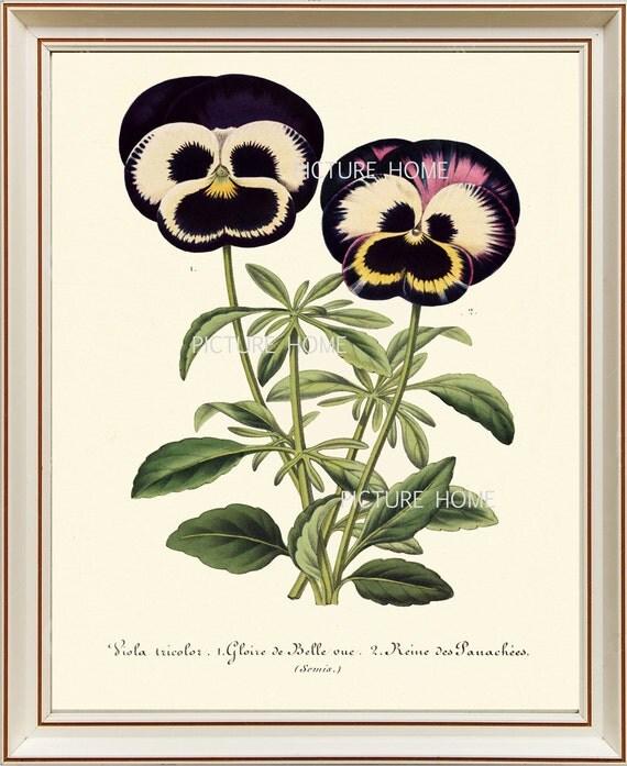 Botanical Print Pansies H17 Beautiful 8x10 Antique Pansy