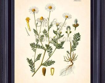 KOHLER Botanical Print 8x10 Mayweed Chamomile Vintage Art Plate Bushy Annual Herb White Yellow Flowers Chart Room Wall Decor BF0707