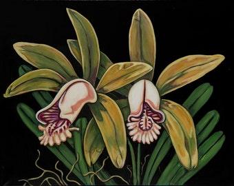 Orchid # 8, Cattleya