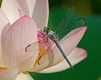 "Dragonfly on Lotus: 7'x10"" archival print signed & matted in 11""x14"" matte"