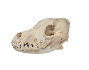 Real Bone Craft Grade Coyote Skull