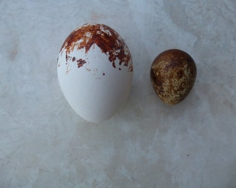 Replica Red tailed Hawk and American kestrel eggs.