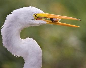 Nature Photography, Egret Eating Fish, Bird Photography, Bird Art