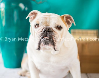Teal Background English Bulldog Print, Fine Art Photography Print, Purrfect Pawtrait Pet Photography, Animal Photography