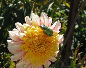 The Frog and The Dahlia Note Card