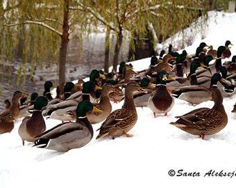 Ducks - Fine Art Photography - Digital photography download, Printable Art, bird photography, Wall decor, duck photo, winter photo, snow
