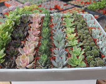 "100 Wedding collection Beautiful Succulents in their plastic 2"" Pots great as Party Gift WEDDING FAVORS echeverias rosettes~"