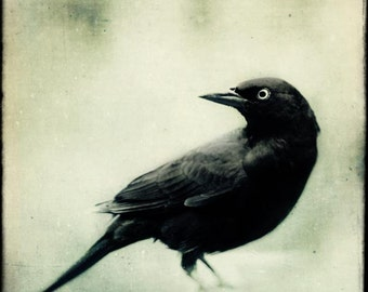 Spooky Gothic Black and White Bird Print, Fine Art Photography Bird, Crow, Raven, Blackbird, Halloween Art, Grackle No. 2