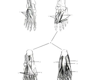 Human Anatomy - Foot Bones and Muscles  - 1975 Vintage Anatomy Print -  12 x 9