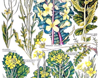 Botanical Print - Wild Cabbage, Treacle Mustard, Turnip, Wall Rocket - 1965 British Flowers Vintage Book Plate P10