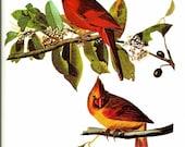 Bird Print - Cardinal - Vintage Art Print - Audubon Book Plate, Print - Grosbeak - Birds of America - John James Audubon - 1970