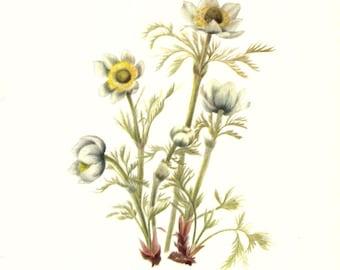 Flower Print - Pasqueflower - Vintage Art Print - Botanical Book Plate Print - Wild Flowers of America - Pulsatilla - Mary Vaux Walcott