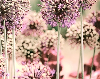 Nature Photography Giant Allium Dusky Pink Art Print - floral fine art wall decor for home or office