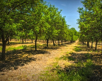 Tree Rows in an Apple Fruit Orchard near Silver Lake in West Michigan No.274 - A Summer Fine Art Landscape Photograph
