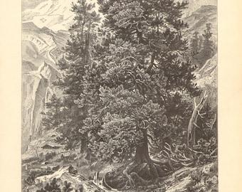 1897 Original Antique Engraving of the Swiss Pine or Arolla Pine