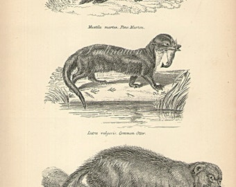 Antique Print, Wolverine Marten Otter Chart 1890 beautiful wall art vintage b/w engraving illustration mustelidae home decor print