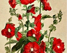 Victorian Red Poppy Paul de Longpre Floral Illustration Fine Art Print, Home Decor for the Cottage Chic Home