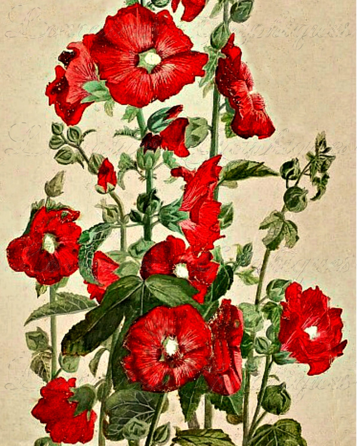 Victorian Red Poppy Paul De Longpre Floral Illustration Fine Art Photographic Print