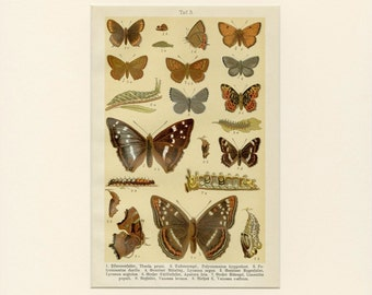 """Matted Antique Butterfly Print C. 1882 German Chromolithograph 11 x14"""""""