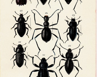 1902  BEETLES Original antique Bettle print. Coleopters, entomology. Black insects