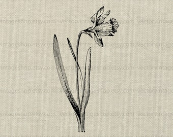 Daffodil vector instant download graphic, Victorian flower clipart, vintage style botany illustration, eps jpg png 01005