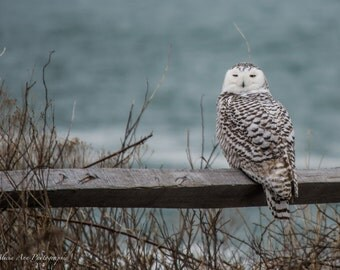 Snowy Owl on the Fence Photographic Print