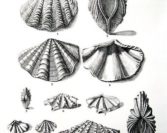 Shells Print - Tritons, Clams, Cockles, Scallops - Vintage 1979  Book Page - Black and White