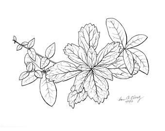 Pachysandra and Vinca No. 1, Black and White Botanical Print