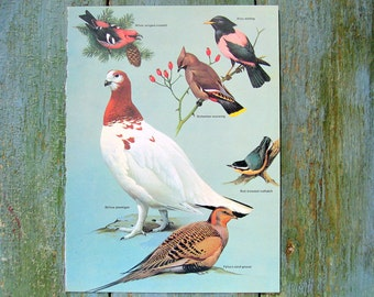 Bird Print - Willow Ptarmigan, White Winged Crossbill, Rosy Starling, Bohemian Waxwing - 1970 Vintage Book Plate 7.5 x 10.5