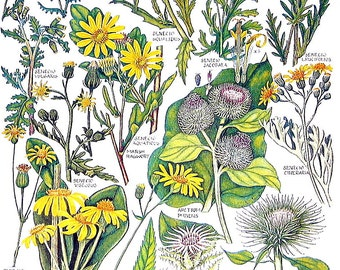 1965 British Flowers - Vintage Print - Groundsel, Hoary Ragwort, Carline Thistle, Common Burdock P47