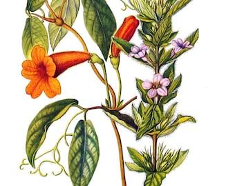 Cross Vine, Ruellia Flowers - Botanical Print - 1954 Vintage Book Page - 11 x 8