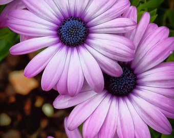 African Daisy - Giclee' Print on Watercolor Paper