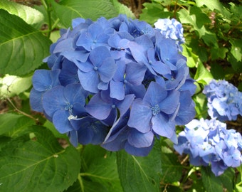 Deep Blue HYDRANGEA photograph - 5x7 - flower photo - floral - garden photo - More sizes available...